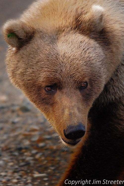 A close up of a female brown bear (Ursus arctos) in Denali National National Park, Alaska.