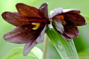 Two chocolate lilies (Fritillaria lanceolata) bloom near Valdez, Alaska in early summer.The chocolate lily is also named skunk lily for the odor when touched.