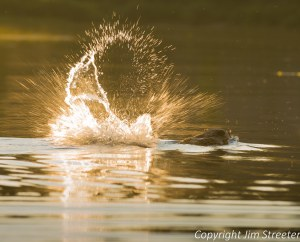 An irritated beaver slaps its tail on Salmon Lake in western Montana. The lake is located in the Seeley Swan valley. The image was captured from a kayak.