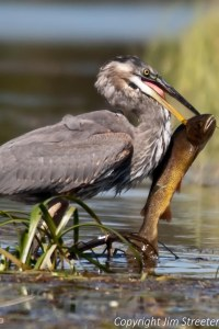 A blue heron (Ardea herodias) catches a large trout along the edge of the Henrys Fork of the Snake River in Idaho.