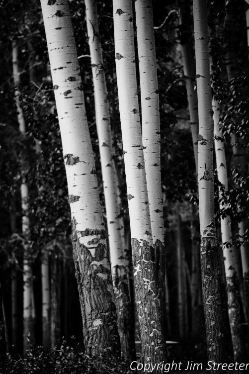 Aspen (Populus tremuloides) tree trunks in morning sulight during fall along the Bow Valley Parkway in Banff National Park in Alberta, Canada.