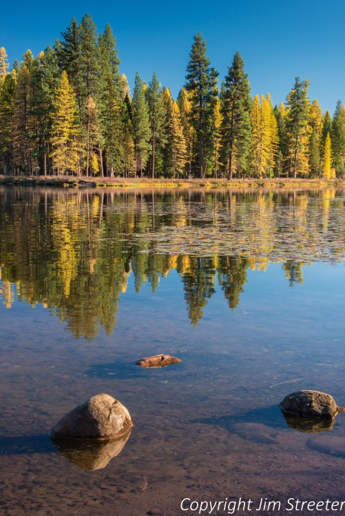 Western larches (Larix occidentalis), also known as tamaracks, are one of three confer species that are deciduous. In the fall, their needles turn yellow and drop off. These larches, at the peak of autumn color, are reflected in the Clearwater River in Seeley Lake, Montana.