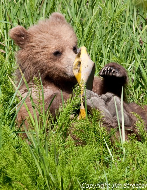 A brown bear cub plays with an antifreeze container in Captain Cook State Park on the Kenai peninsula in Alaska. The cub is one of two orphaned the previous summer.