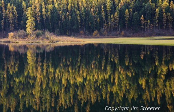 Fall color in the Larch trees (Larix occidentalis) at the edge of Salmon Lake in the Seeley-Swan valley of western Montana.