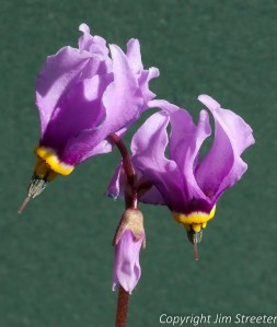 Close up of several shooting stars (Dodecatheon) in Missoula Montana.