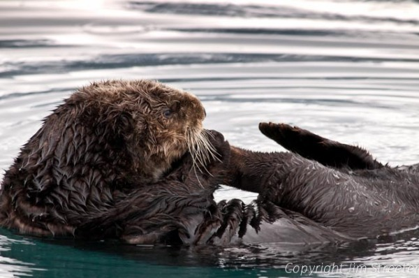 A sea otter (Enhydra lutris) mouths its back foot while floating in Kenai Fijords National Park in Alaska.