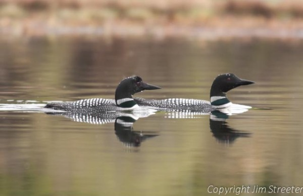 A pair of common loons (Gavia immer) glides along Lake Alva on a summer evening in western Montana. Loon restoration is an ongoing effort in western Montana.