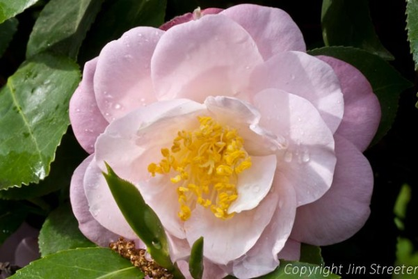 Pink camellia blossome after a rainstorm.