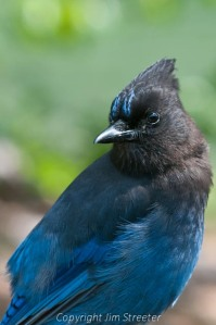 A Steller's Jay (Cyanocitta stelleri) waits hopefully for a handout on the Kenai peninsula in Alaska.