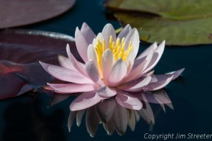A water lily (Nymphaeaceae) floats on the surface of Seeley Lake in western Montana.