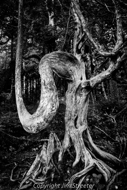 The roots of a tree, along with its curved stump, present a strange, twisted shape along the Wild Pacific Trail in Ucluelet on the west coast of Vancouver island in British Columbia.