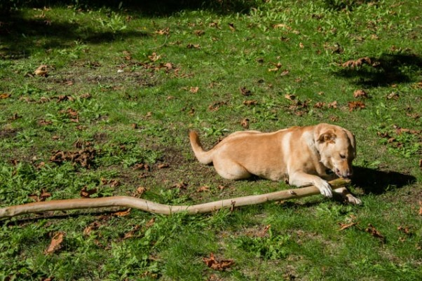Many dogs like sticks, but for Sadie, bigger is always better.