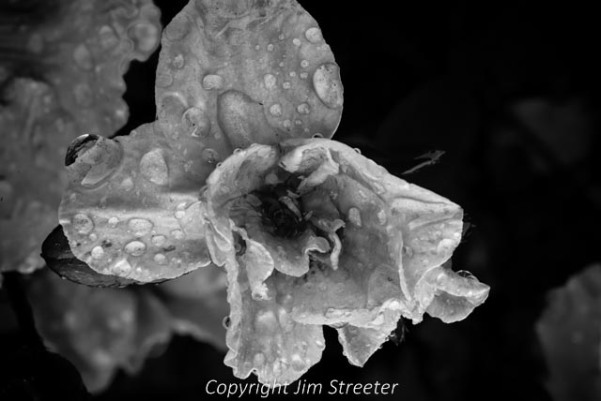Water droplets from an early summer rain sparkle on a flower in a Portland, Oregon yard.