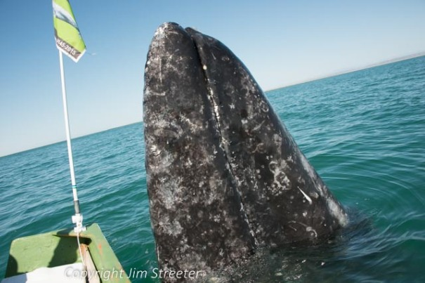 "A gray whale (Eschrichtius robustus) spy-hops just off the stern of a whale-watching boat in Laguna San Ignacio at the edge of the Pacific Ocean. Since the eues are not open or visible when a gray whale spy-hops, it is thought that they are using their hearing to examine their environment. This behavior also seems to occur in the presence of boats, almost as if they're ""mugging"" for a camera. Laguna San Ignacio, located in Mexico's Baja California Sur, is one of three protected lagoons that serve as nurseries and birthing grounds for the gray whale."