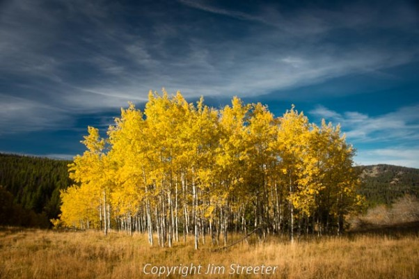 A grove of aspens intermixed with several maples blazes with fall color alongside the road leading to East Fork Reservoir outside of Phillipsburg, Montana.