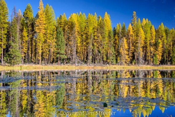 Western larch (Larix occidentalis) glow a fiery gold as they reflect in Lake Mary Ronan in western Montana on a fall day.