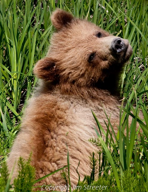 A yearling brown bear cub gazes curiously over her shoulder for a view of the tourists watching her in Captain Cook State Park on the Kenai peninsula in Alaska. The cub is one of two orphaned the previous summer.