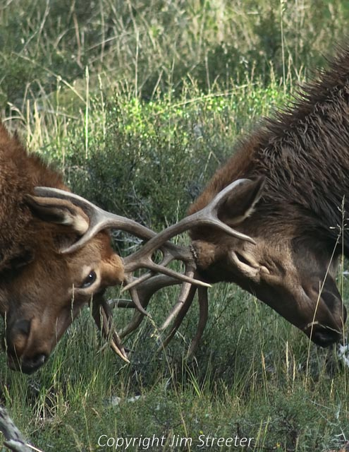 Two young bull elk practice sparring during the fall rut in Rocky Mountain National Park, Colorado.