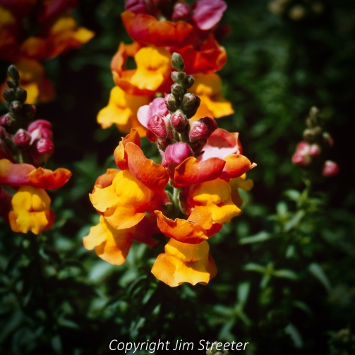 A set of yellow, orange and red snapdragon flowers bloom in the gardens at McKinley Park in downtown Sacramento, California.